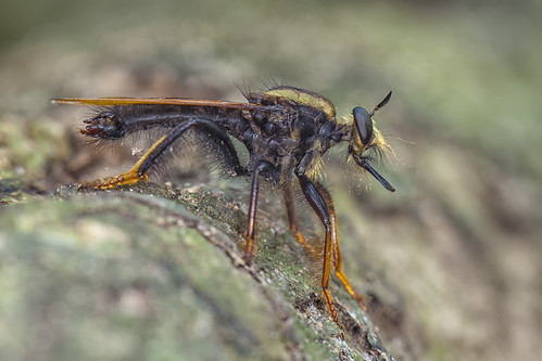 ... robberfly that ~30mm long ...