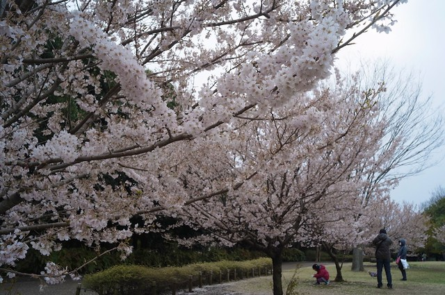 桜 相模原公園 (Sakura in the Sagamihara park.)