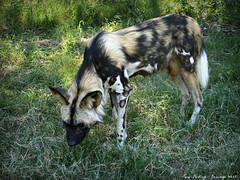 African Wild Dog...