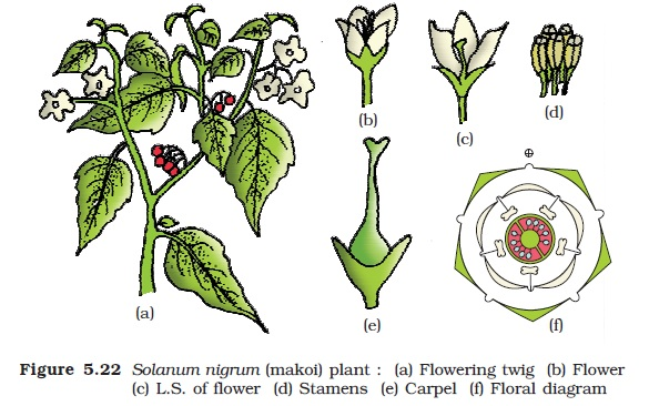 Ncert class xi biology chapter 5 morphology of flowering plants economic importance many plants belonging to the family are sources of pulses gram arhar sem moong soyabean edible oil soyabean groundnut dye ccuart Image collections