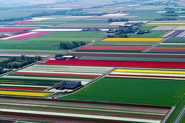 Granja de Tulipanes en Holanda (1)