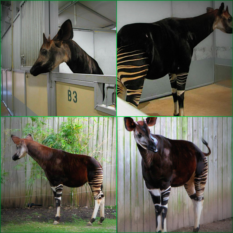 Okapi Collage
