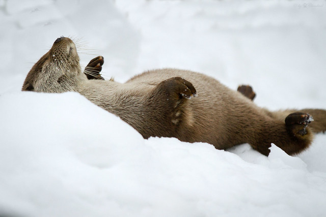 Otter rolling on its back in the snow, eyes closed