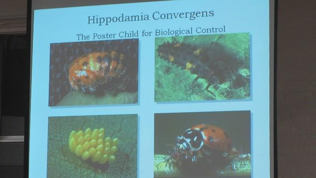 MVI_6727 Rincon Vitova Kyra Rude Hippodmia Convergens Ladybug stages