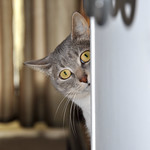 Cat playing peek a boo