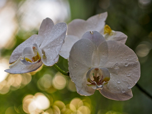 Dew Drop Orchids by DisHippy