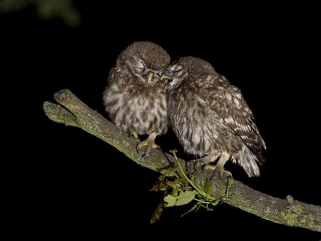 Little Owl chicks (Athene noctua)