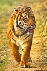 Tigre de Malaisie