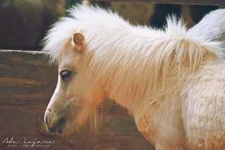 Miniature horse Zoobic Safari