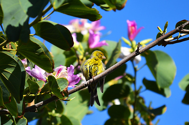 Canary Bird in an Orchid Tree, North Tenerife