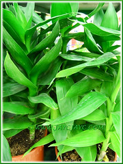 Potted Dracaena braunii (D. sanderiana) or Lucky Bamboo at a garden nursery