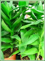 Potted Dracaena braunii (D. sanderiana) or Lucky Bamboo at a garden nursery
