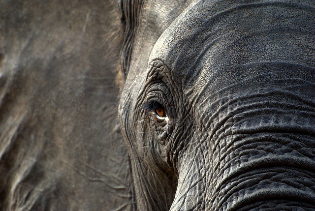 Elefante en Zimbabue. África.