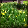 Week 8: Daffs on the Taff