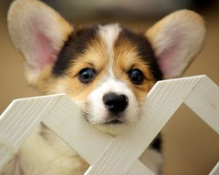Corgi Puppies 92