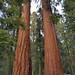 Sequoia National Park Vertorama by ladigue_99