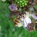 Small photo of Episyrphus balteatus. Syrphidae
