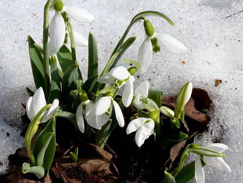Snowdrops (Galanthus sp) by MizieB