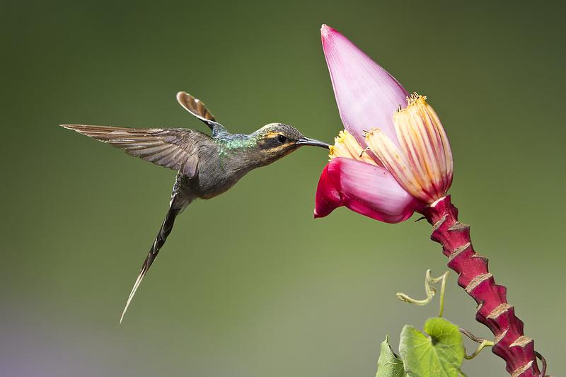 Imagen de una de las aves del Quindio: Ermitaño Verde (Phaethornis Guy)