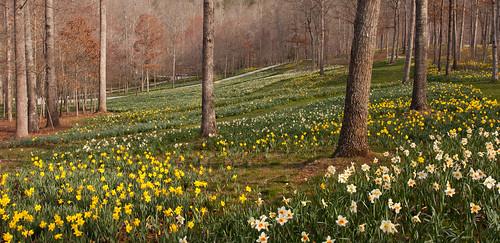 flower nature garden landscape spring josh daffodil bloom gibbsgardens