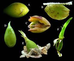 frutto posidonia in vari stadi