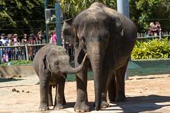 Elephants in the Houston Zoo