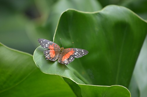 Brilliant red Anartia amathea is enclosed in curvaceous leaves by jungle mama