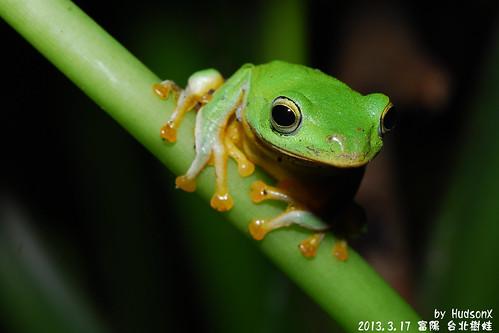 台北樹蛙(13)