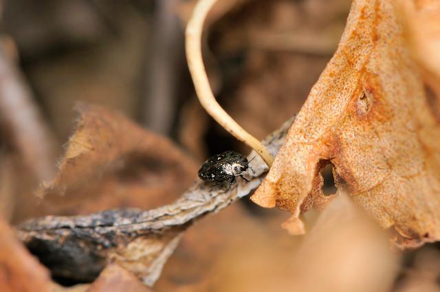 Trachys pseudoscrobiculata