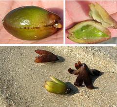 frutti di posidonia spiaggiati