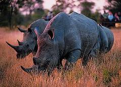 南非庫魯格國家公園中馬賽馬拉保護區裡的犀牛。(攝影:Safari Partners)