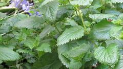 annual plant, flower, plant, lemon balm, perilla frutescens, urtica,
