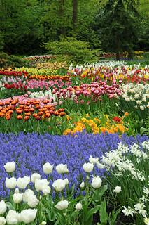 Rosa, crisantemo y clavel son las más vendidas, aunque el símbolo sea el tulipán.