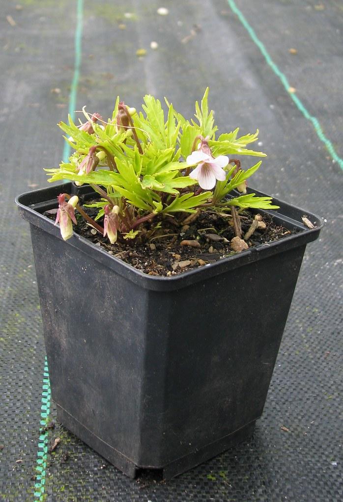 Viola chaerophylloides x eizanensis Kurenal