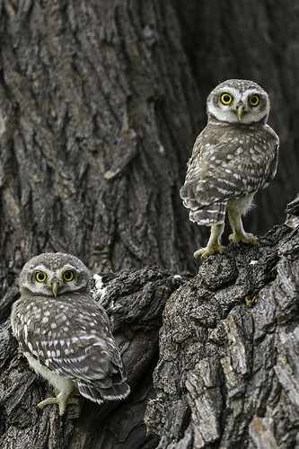 Eye to Eye_LIttle Spotted Owlets