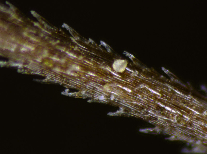 Hair on the seed urn of Aristida sp. at 161X macnification