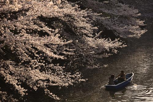 Cherry brossoms in full bloom