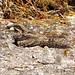 Nightjar Caprimulgus europaeus by davidcawthraw