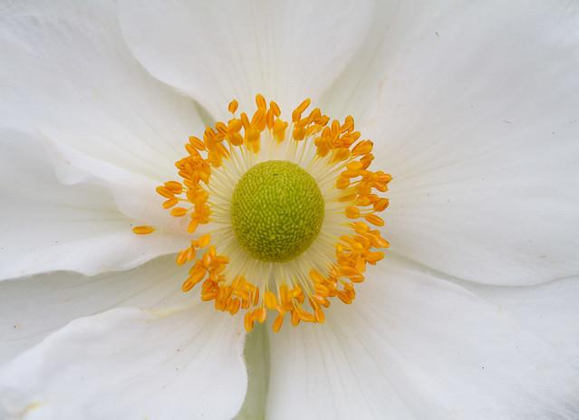 Anemone japonica macro