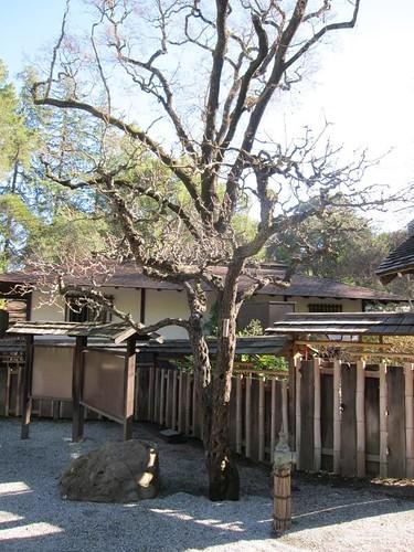 Hakone Japanese Gardens, Saratoga, CA, tree IMG_2294