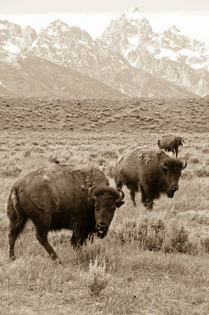 bisons, mountain
