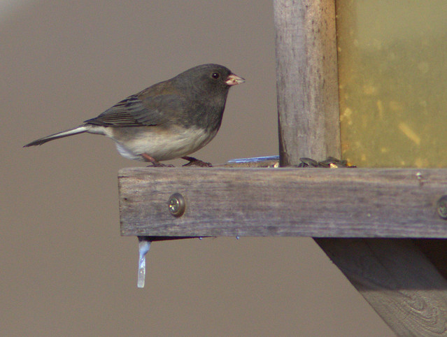 Dark-eyed Junco 2-20130115