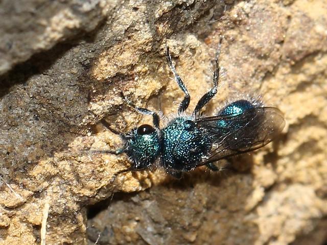 Cuckoo wasp 1 6405