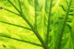 Leaf in Morning Sun