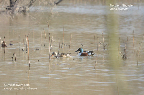 Northern Shoveler - Anas clypeata  by USWildflowers, on Flickr