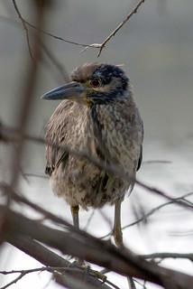 Juvenile Heron  Maybe Yellow Crown