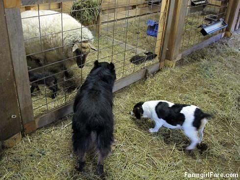 Lambing season begins! (6) - FarmgirlFare.com