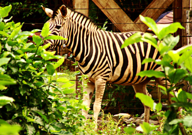 Zebra from Manila Zoo
