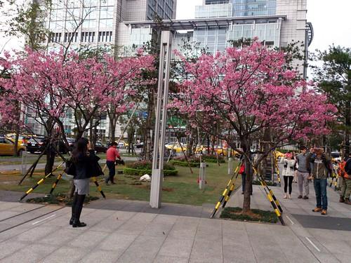 市政府對面櫻花樹