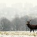 Snowy stag with urban backdrop